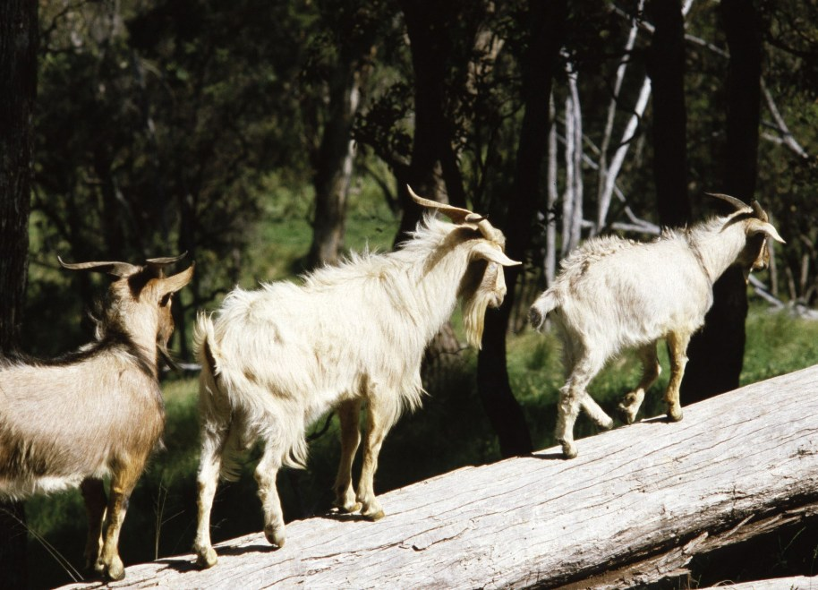 Feral goats walking along a log, source P Fleming