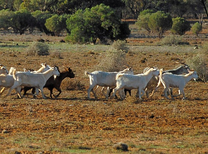 Feral goats, source G Johnson