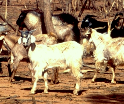 Feral goats, source unknown