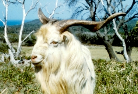 Feral goat, source P OBrien