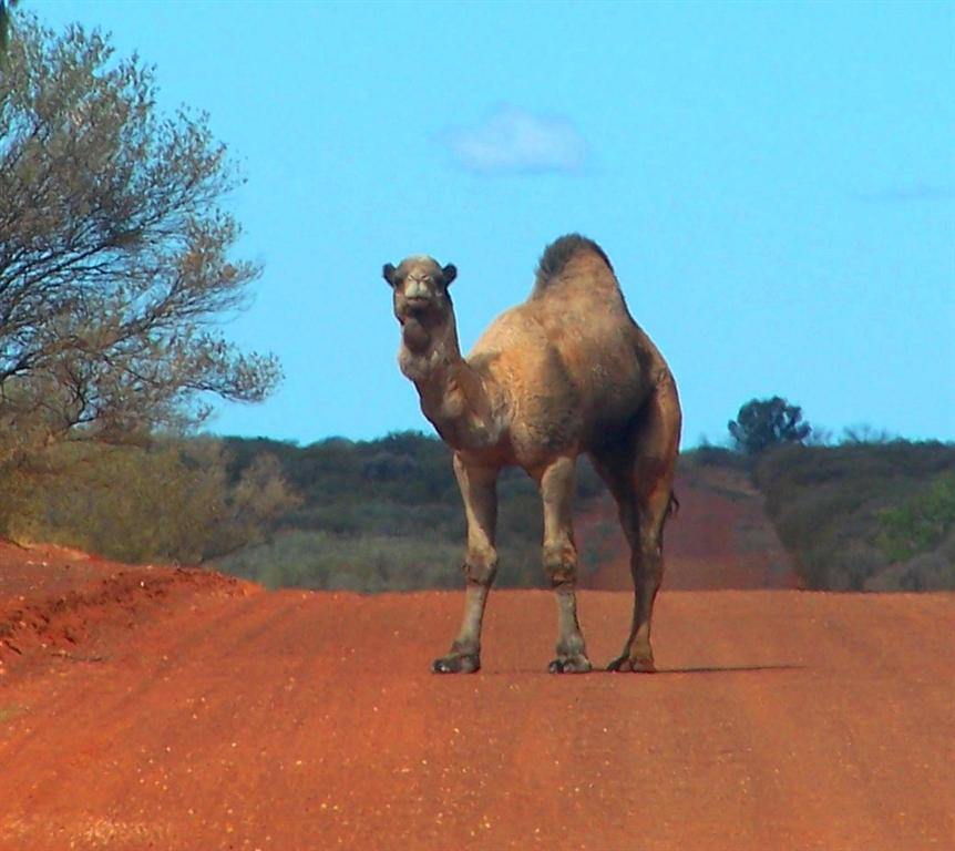 Feral camels can present a significant vehicle hazard, image by B Zeng
