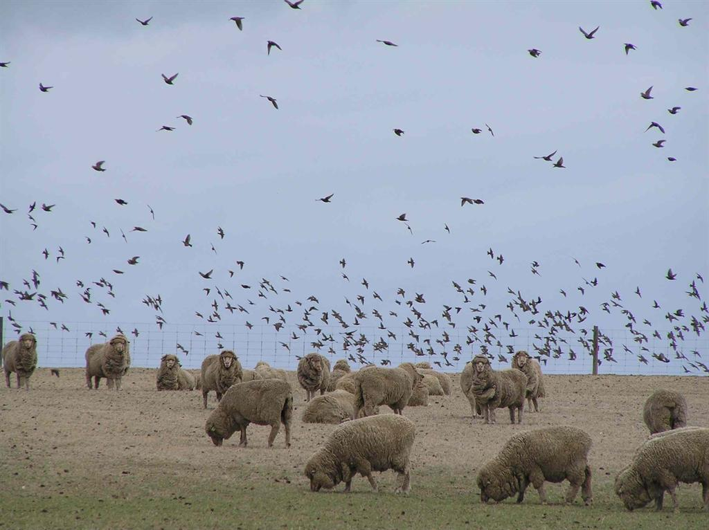 Starlings flocking around sheep, source R Sinclair